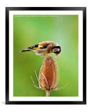 Goldfinch feeding on Teasel comb., Framed Mounted Print
