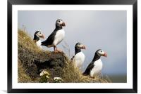Puffins, Framed Mounted Print
