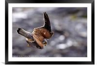 Diving Kestrel, Framed Mounted Print