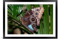 Owl Butterfly, Framed Mounted Print