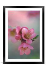 Japanese Flowering Quince                         , Framed Mounted Print