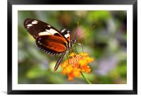 Butterfly on a flower, Framed Mounted Print