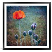 Red Poppy Standing Tall, Framed Mounted Print