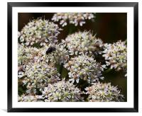 Wild carrot, Framed Mounted Print