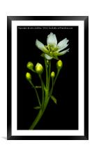 Flower of the Venus Fly Trap, Framed Mounted Print