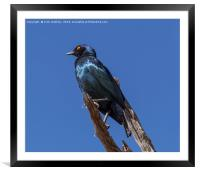 Greater Blue-eared Glossy Starling, Framed Mounted Print