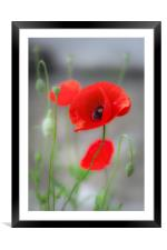 Red Poppies , Framed Mounted Print