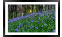 Sunset at Bluebell Wood in Margam, Framed Mounted Print