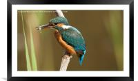 kingfisher with fish , Framed Mounted Print
