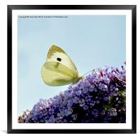 The 'small white' butterfly, Framed Mounted Print