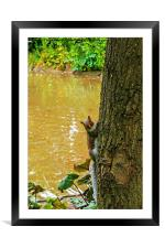 A Cute squirrel pops out from behind a tree!, Framed Mounted Print