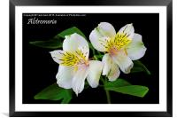 Alstromeria in all its glory, Framed Mounted Print