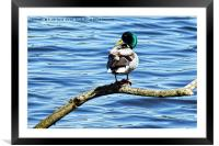 A Mallard turns its back on a portrait session., Framed Mounted Print