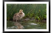 The Lonely Gosling, Framed Mounted Print