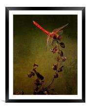 Red Dragonfly on Dead Plant, Framed Mounted Print