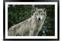 Tundra Wolf in the Rain, Framed Mounted Print