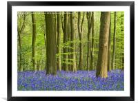 Bluebell Woodland in Hertfordshire, Framed Mounted Print