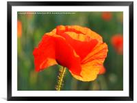 Just One Red Poppy, Framed Mounted Print