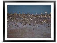 Oyster Catchers , Framed Mounted Print