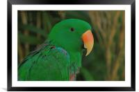 Eclectus Parrot, Framed Mounted Print