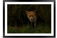 Red Fox Looking Through A Hedge , Framed Mounted Print
