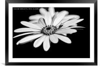 Osteospermum and fly, Framed Mounted Print