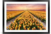 A colourful evening at a Dutch Tulip field, Framed Mounted Print