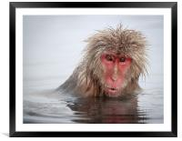 Curley (Japanese Macaque), Framed Mounted Print