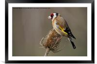 Goldfinch, Framed Mounted Print