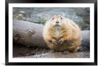 Black tailed prairie dogs, Framed Mounted Print