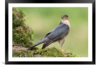 Sparrowhawk, Framed Mounted Print