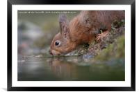 Thirsty red squirrel , Framed Mounted Print