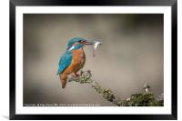 Kingfisher with catch, Framed Mounted Print