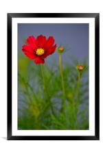 Cosmos Dazzler, Framed Mounted Print