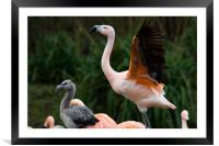 flamingo and young, Framed Mounted Print