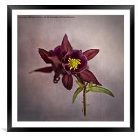 Columbine, Framed Mounted Print