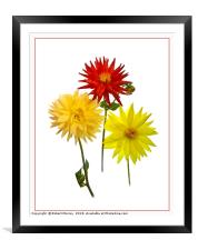 Dahlias, Framed Mounted Print