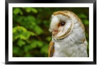 Barn owl looking right, Framed Mounted Print
