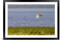 Wild Barn Owl out hunting, Framed Mounted Print