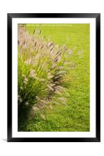 Grass clump Pennisetum alopecuroides, Framed Mounted Print