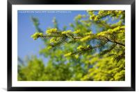 Green coniferous new shoots, Framed Mounted Print