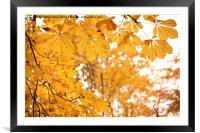 chestnut autumn yellow leaves, Framed Mounted Print