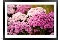 Many pink Dendranthema blooming , Framed Mounted Print
