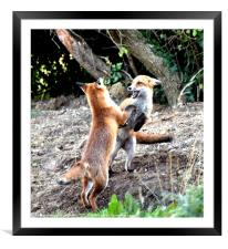 The Frolickings of two young fox cubs, Framed Mounted Print