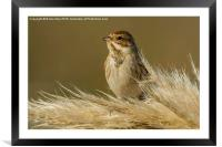 Reed Bunting on Pampas, Framed Mounted Print