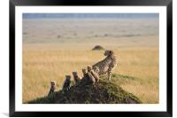 Cheetah and 5 cubs, Framed Mounted Print