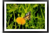 The Old World swallowtail (Papilio machaon), Framed Mounted Print