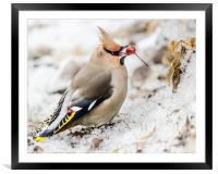 Bohemian waxwing, Framed Mounted Print