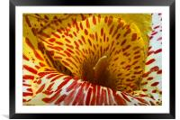 Canna Lily with red stripes and dots , in bloom. I, Framed Mounted Print