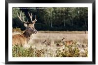 Rude Stag, Framed Mounted Print